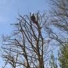 Billede af træbeskæring aftræer.