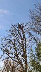 Billede af træbeskæring af træer.